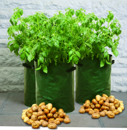 Three potato plants in green pots, and two piles of potatoes at their feet