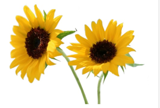 Two sunflowers against white background